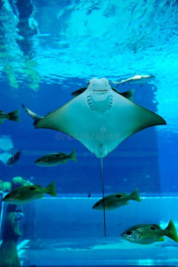 Rayon souriant dans l'aquarium photo stock