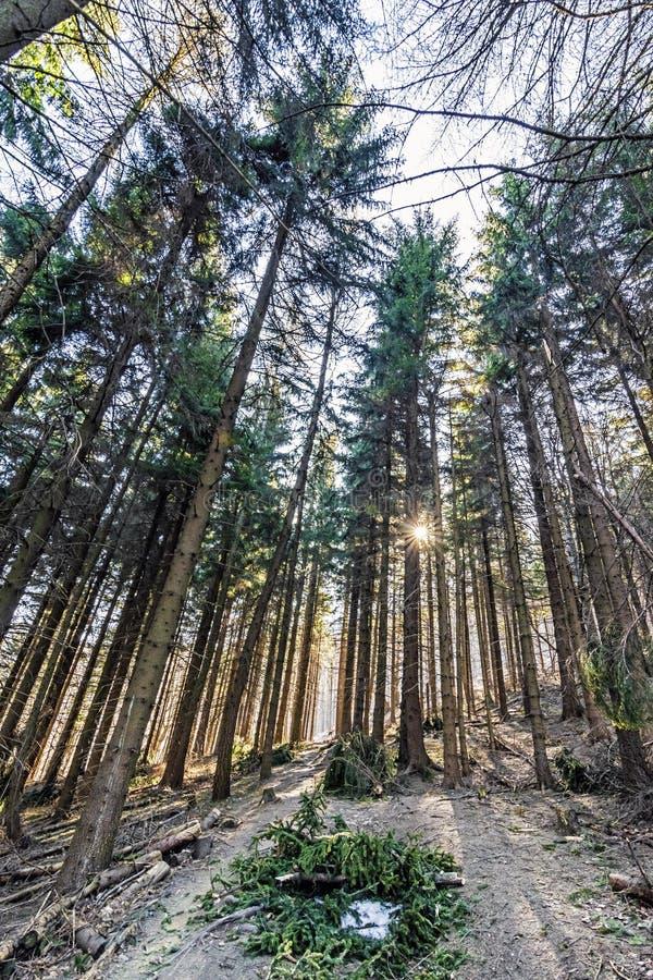 Rayons conif?res de for?t et de soleil, colline de Klak, Slovaquie photos libres de droits