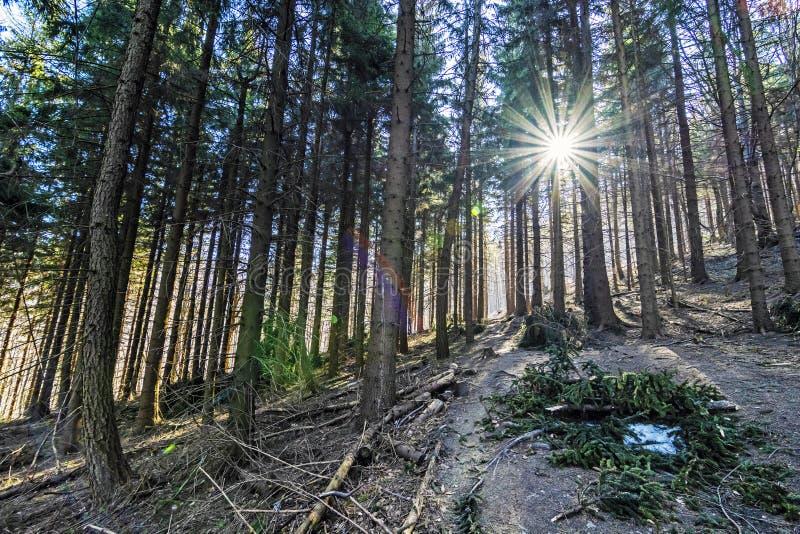 Rayons conif?res de for?t et de soleil, colline de Klak, Slovaquie images libres de droits
