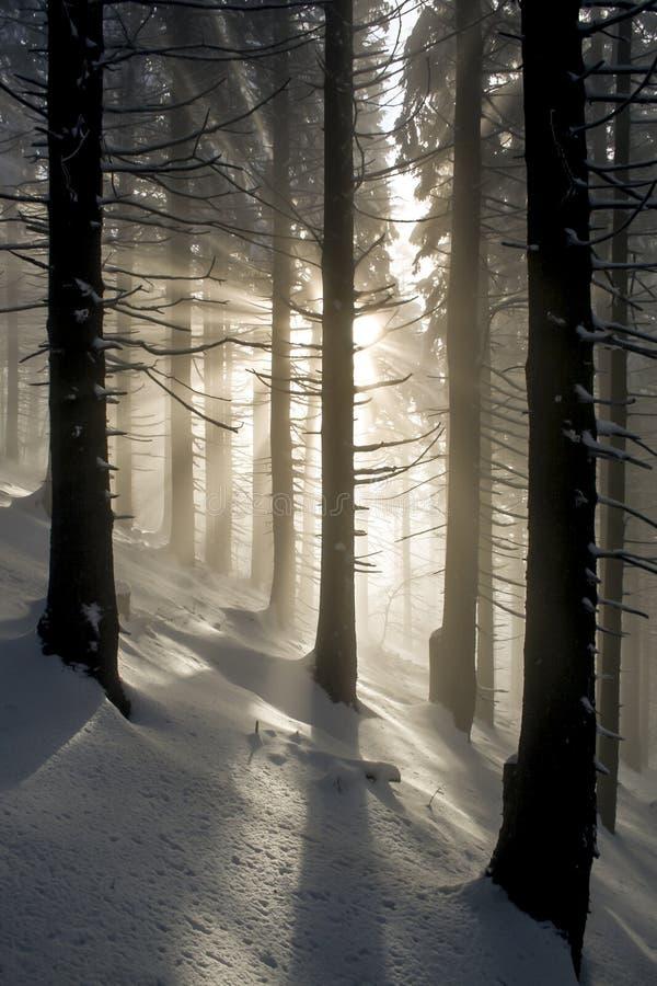 Rayons dans la forêt d'hiver photos libres de droits