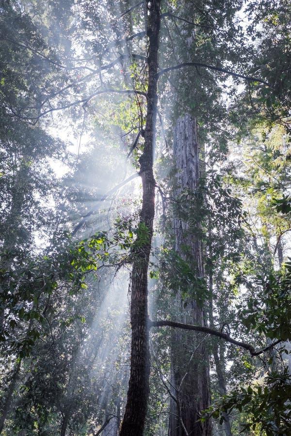 Rayons de Dieu dans des arbres de séquoia photographie stock libre de droits