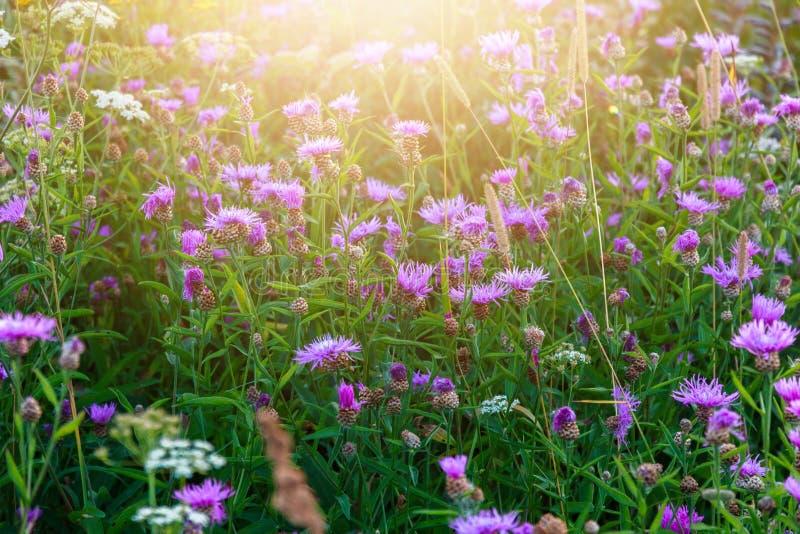 Rayons de pré et de soleil de centaurée de Brown, paysage de champ d'été photos libres de droits