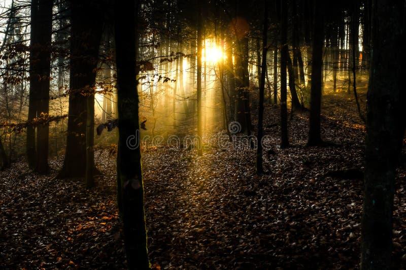 Rayons de soleil éclatant par la forêt photos libres de droits