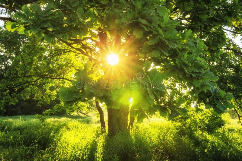 Rayons de soleil en gros plan de vue par les branches vertes du grand arbre le matin ensoleillé d'été Fond d'été de nature photographie stock