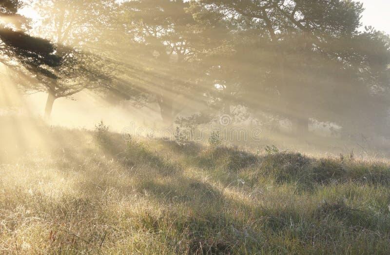 Rayons de soleil entre les arbres au lever de soleil brumeux images libres de droits