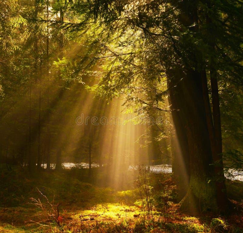 Rayons de Sun brillant par les arbres dans la forêt de conifère photos stock