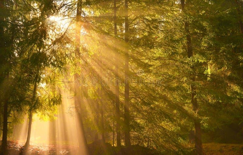Rayons de Sun brillant par les arbres dans la forêt de conifère photo libre de droits