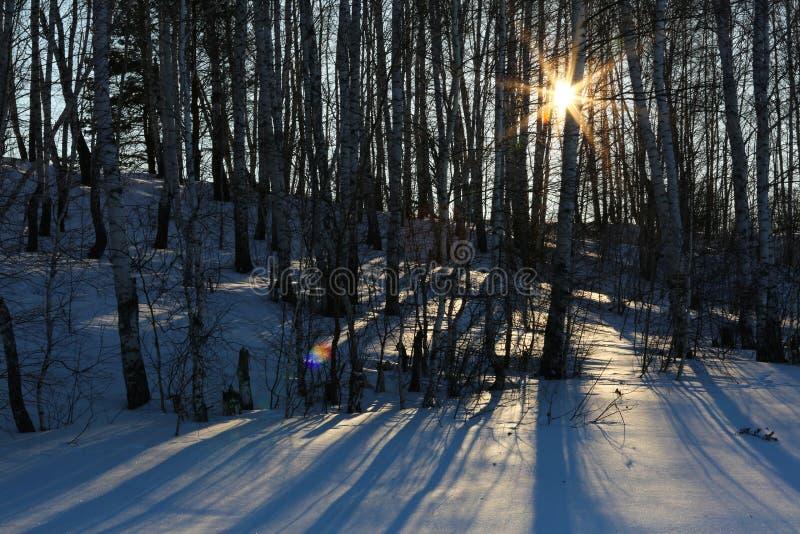 Rayons de Sun dans la forêt de bouleau photo stock