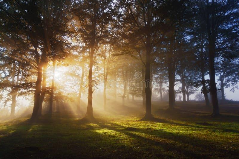 Rayons du soleil de matin sur la forêt photos libres de droits