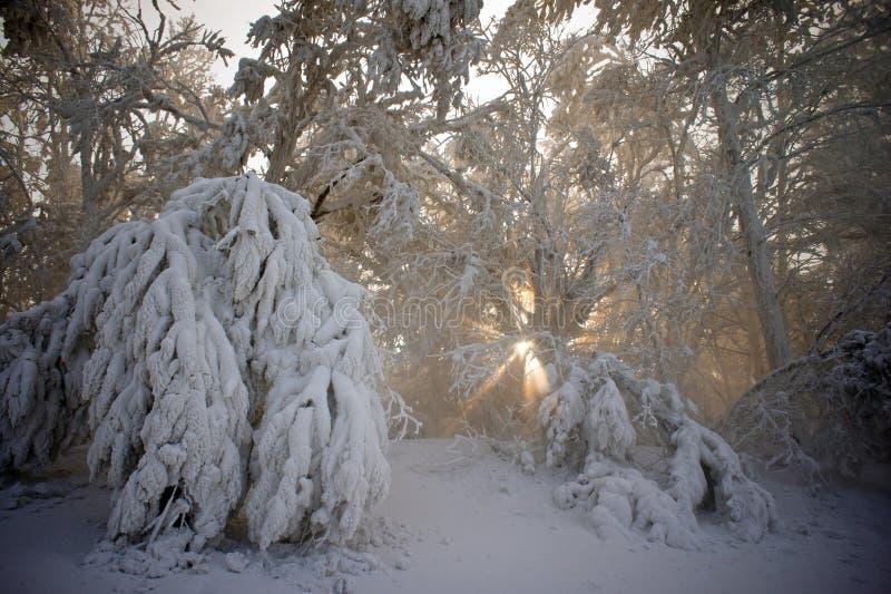 La neige a couvert des branches d'arbre images stock