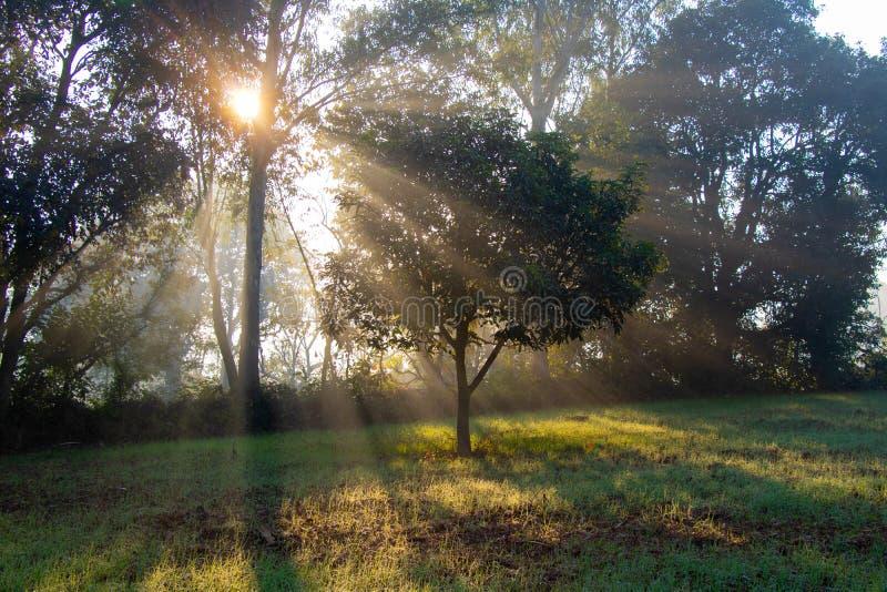 Rayos de levantamiento de Sun a través de los árboles por mañana de la niebla y de la niebla fotos de archivo