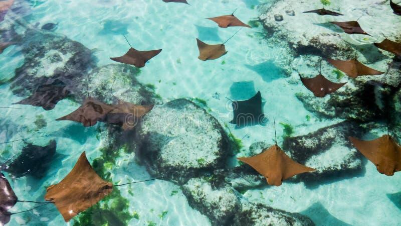 Rayos de picadura jovenes y sanos que nadan fotografía de archivo