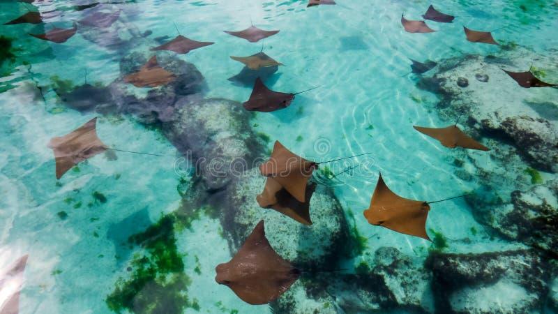 Rayos de picadura pacíficos en agua cristalina fotos de archivo libres de regalías
