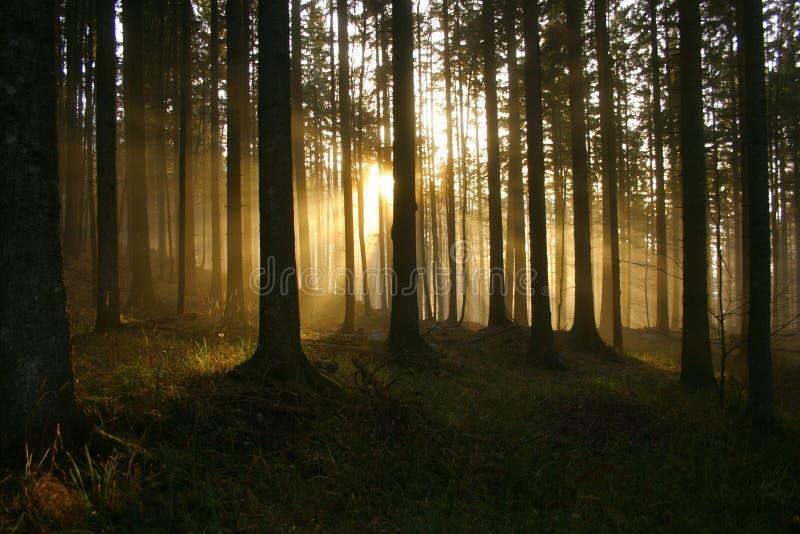 Rayos de sol en el bosque foto de archivo