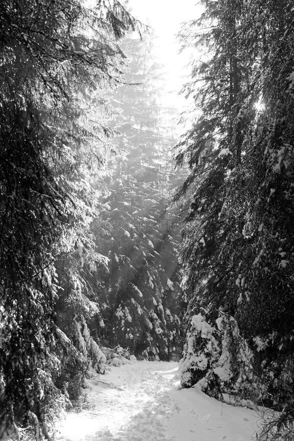 Rayos de sol en el bosque en Tatras bajo, Eslovaquia foto de archivo