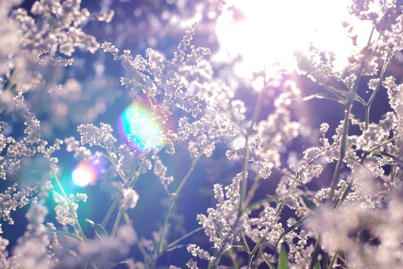 Rayos de sol en hierba y flores salvajes del campo en la puesta del sol, fondo defocused borroso foto de archivo libre de regalías