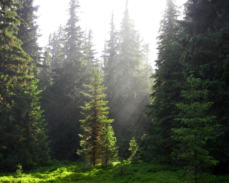 Rayos de sol que brillan en un claro verde del bosque fotos de archivo