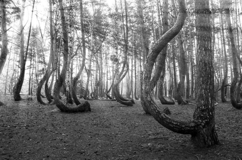 Rayos de Sun en el bosque torcido, Polonia fotografía de archivo