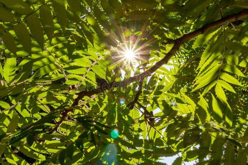 Rayos de Sun a través de las hojas verdes Luz del sol en follaje de los árboles Concepto de la frescura Naturaleza y fondo del am fotos de archivo libres de regalías
