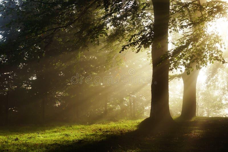 Rayos del sol de la mañana en bosque foto de archivo libre de regalías