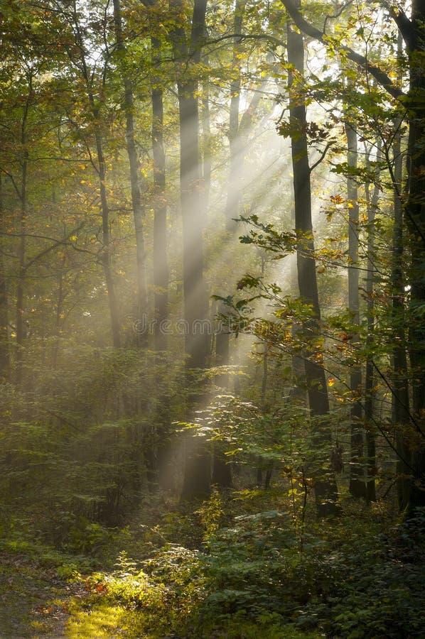 Rayos del sunshin en bosque foto de archivo
