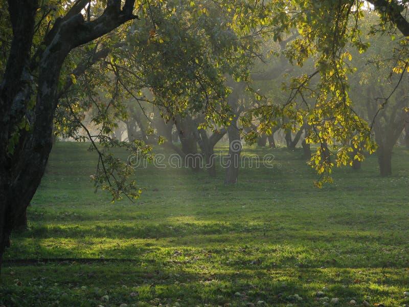 Rays of light among apple-tree stock image