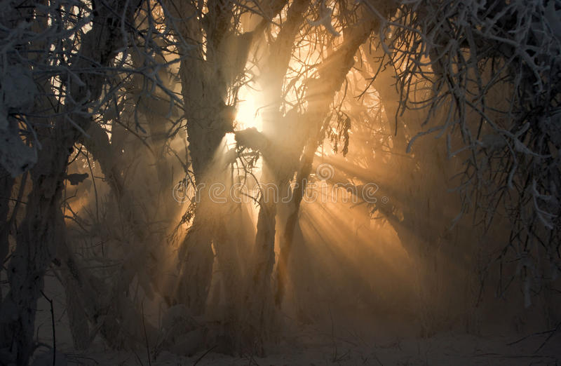 Rays of light shows through between the branches covered with sn stock photography