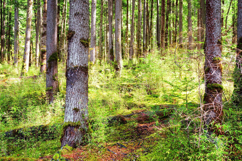 Rays of morning sunlight through old trees of primeval forest stock photo