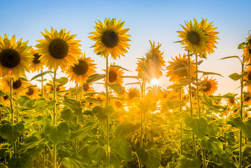Rays of the rising sun breaking through sunflower plants field. royalty free stock image