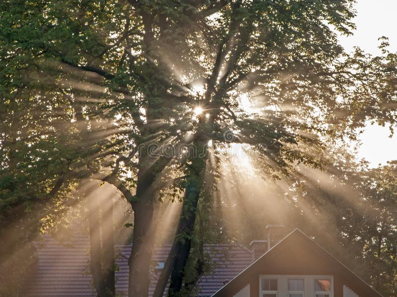Rays of rising sun among trees. Large, tall deciduous trees. It`s morning. A light fog is drifting in the crowns. The rays of the rising sun pierce through the stock image