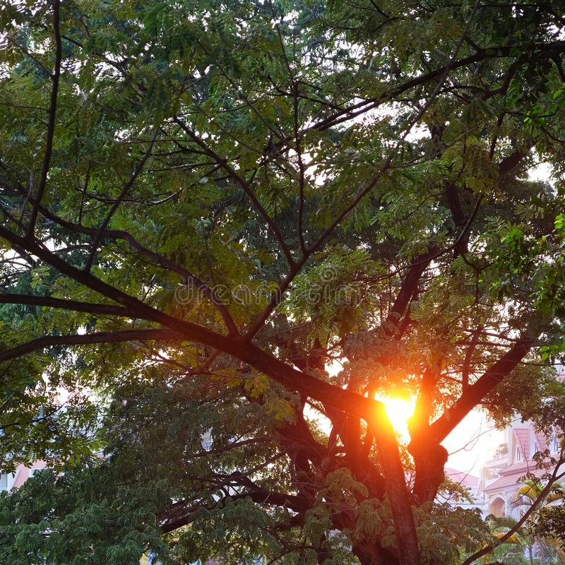 The rays of the setting sun shine through the foliage.  royalty free stock image