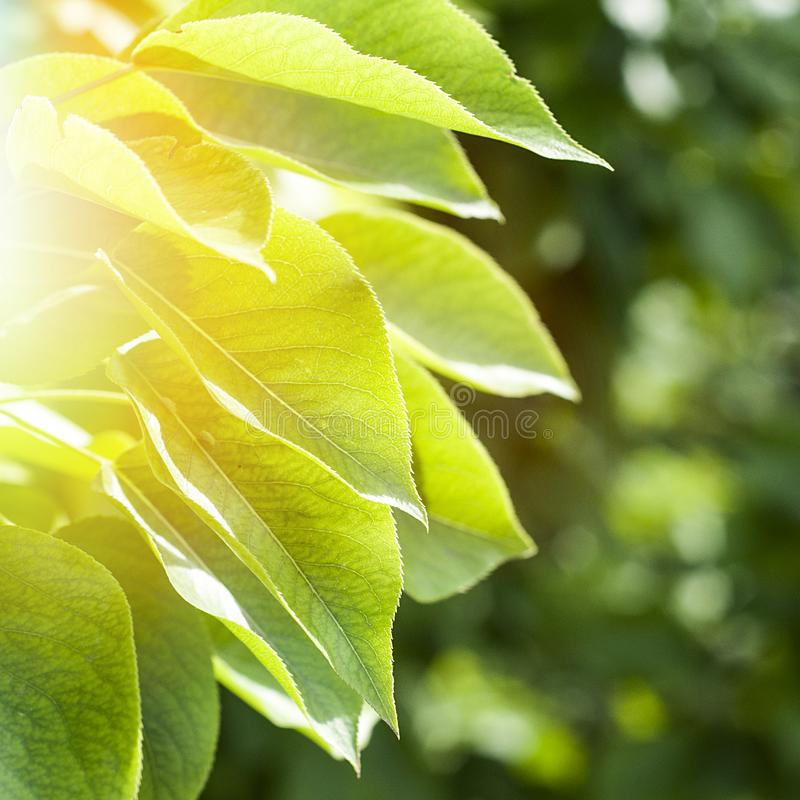 Green foliage of the trees royalty free stock photography