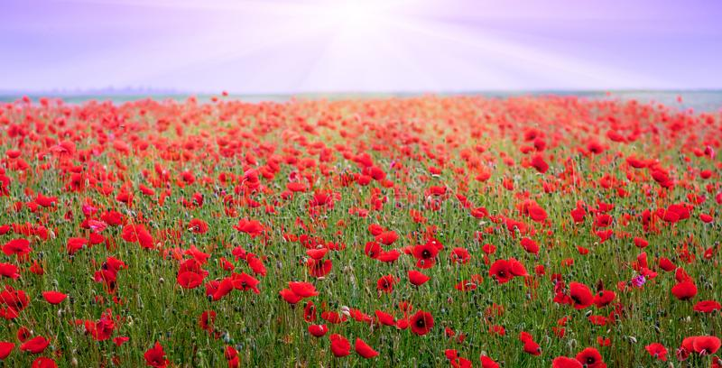 The rays of the sun above the poppy field. Red poppies in the field during the sunset_ stock images