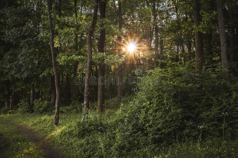 Rays of the sun break through trees in the forest. Good summer royalty free stock photography