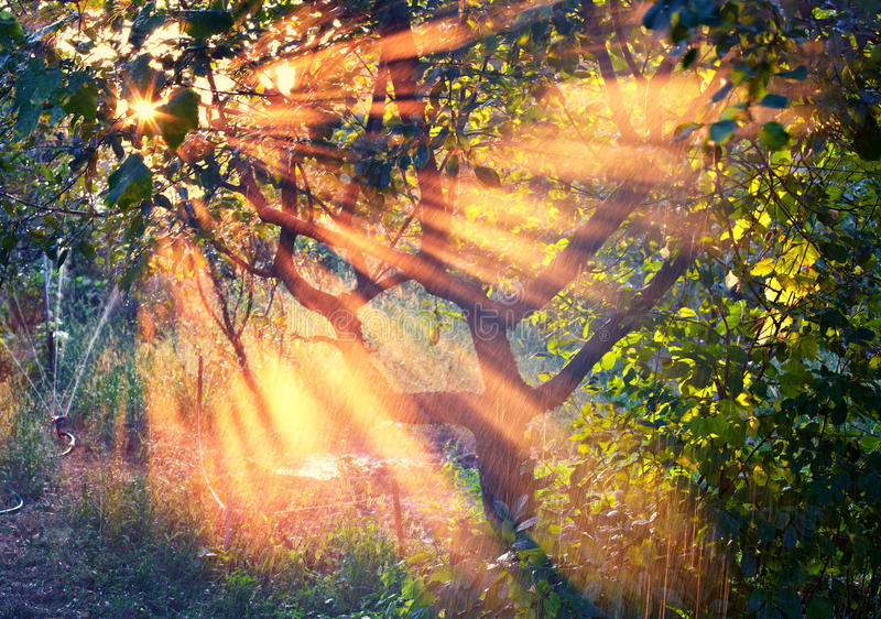 Rays of the sun in the orchard. Natural sun rays in the apple orchard at sunset royalty free stock photos