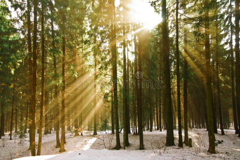 The Rays Of The Sun In The Winter Pine Stock Photos