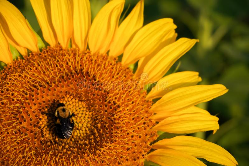 Rays from the sunrise strike a bee pollinating a sunflower. In a field royalty free stock photos