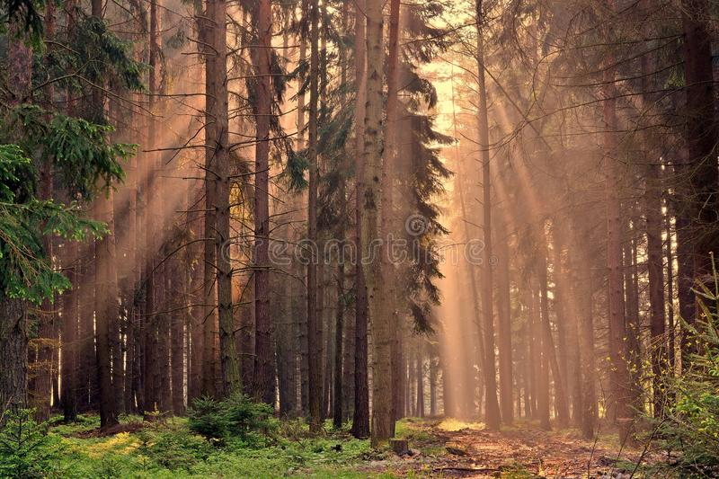 Rays of the sunrise through the trees. In the forest royalty free stock photos