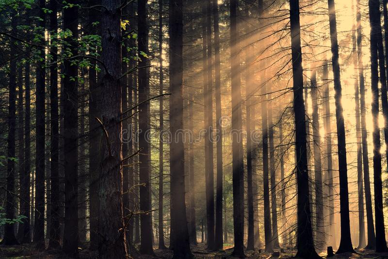 Rays of the sunrise through the trees. In the forest stock photos