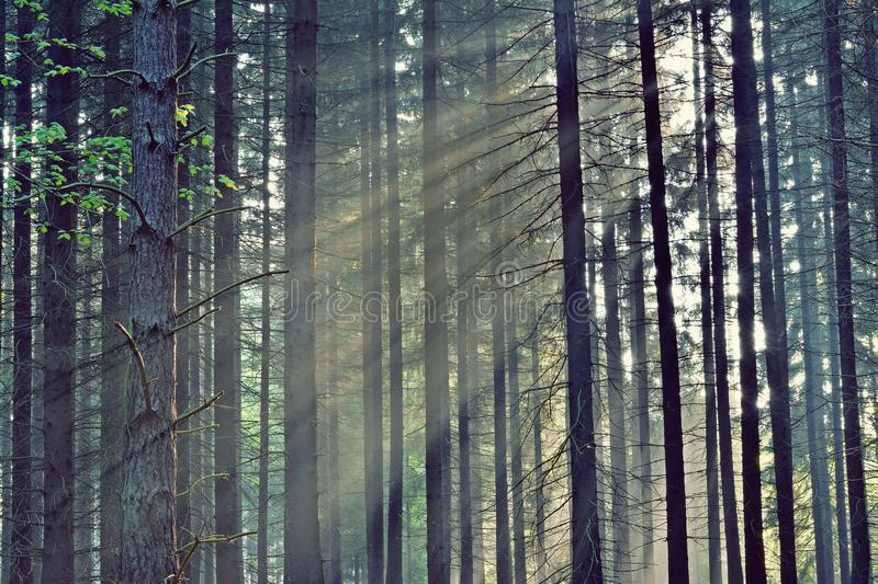 Rays of the sunrise through the trees. In the forest stock image