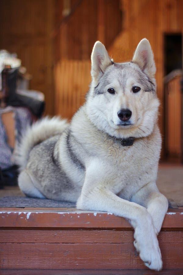 Raza blanca Laika del perro de búsqueda que descansa sobre el piso pet foto de archivo libre de regalías