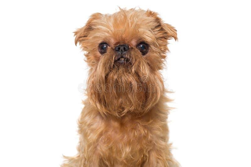 Raza Bruselas Griffon del perro del retrato foto de archivo libre de regalías