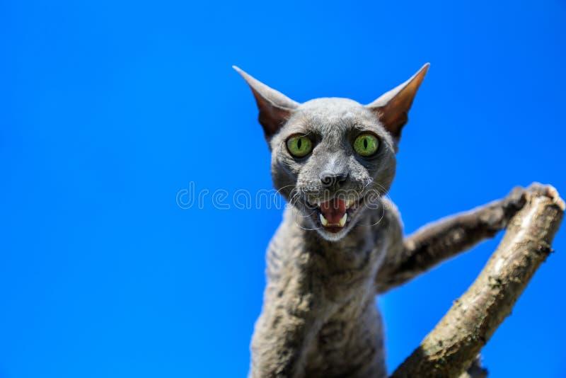 Raza de Cornualles del gato de Rex en la rama fotos de archivo