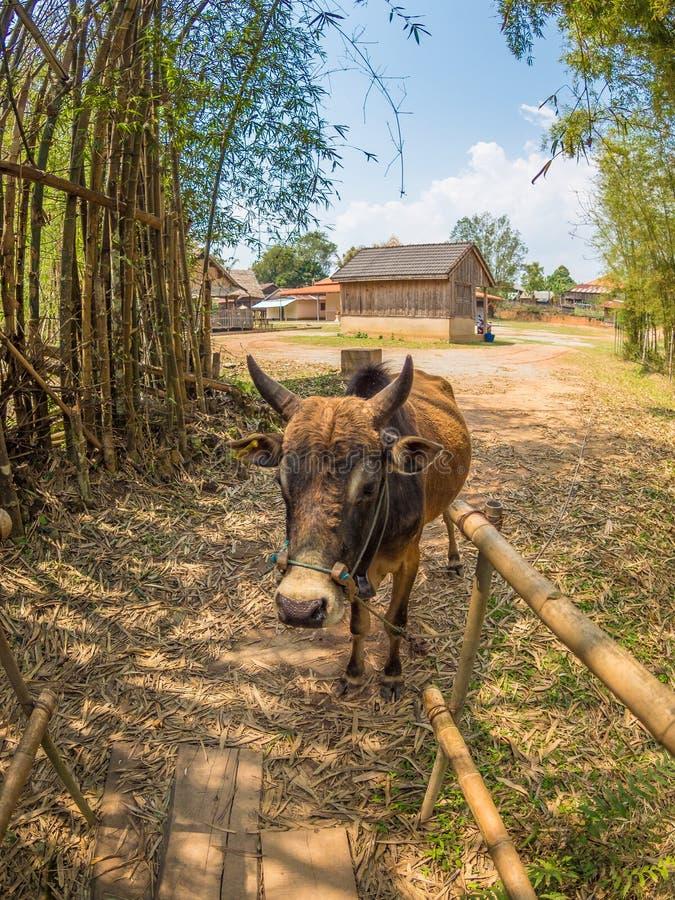Raza de ganados típica del Lao Meseta de Xiangkhoang imagenes de archivo