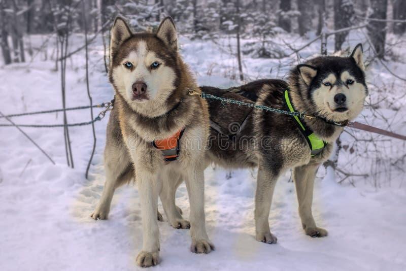Raza de la competencia de la nieve del malamute de Alaska el competir con de perro de trineo imagen de archivo