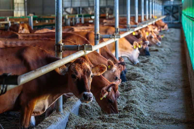 raza de la lechería de las vacas del jersey que come el forraje del heno en granja del establo en alguna parte en Ucrania central imagen de archivo