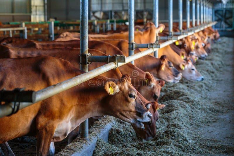 raza de la lechería de las vacas del jersey que come el forraje del heno en som de la granja del establo imágenes de archivo libres de regalías