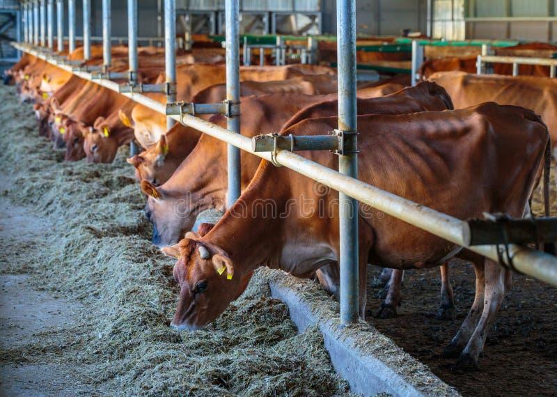 raza de la lechería de las vacas del jersey que come el forraje del heno en som de la granja del establo imagen de archivo
