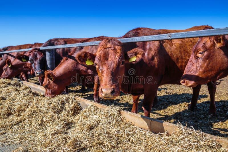 raza de las vacas lecheras sin cuernos que comen el forraje de los silos en granja del establo en alguna parte en Ucrania central foto de archivo