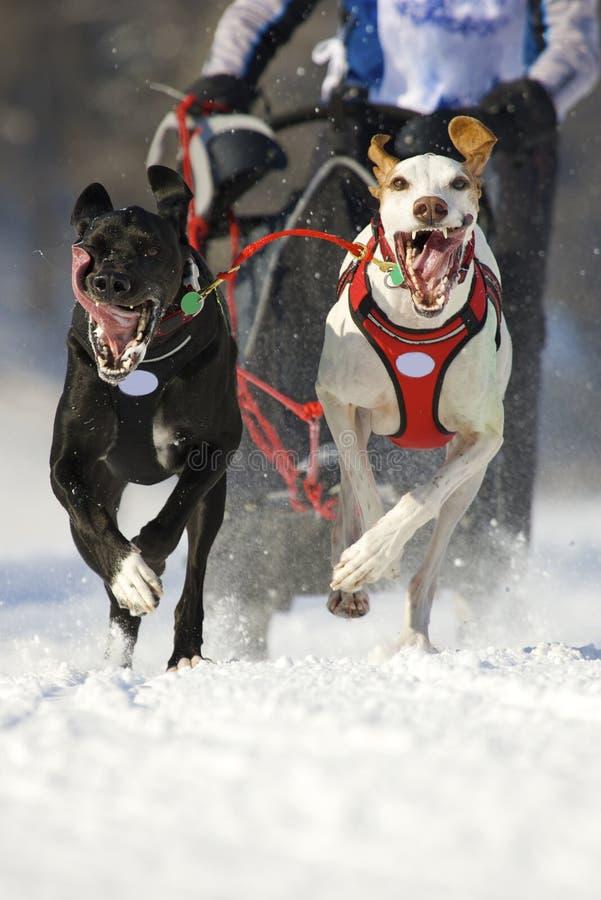 Raza de perro de trineo foto de archivo libre de regalías